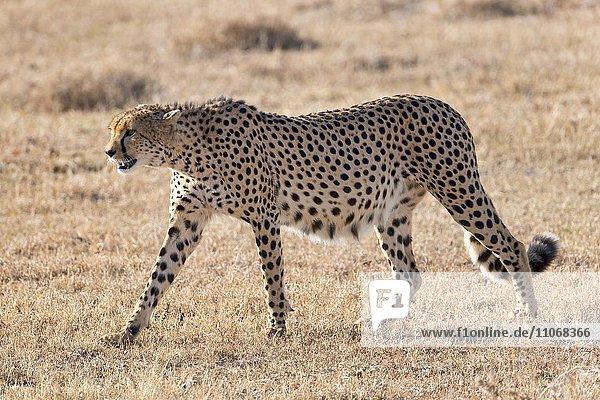 Gepard (Acinonyx jubatus) geht auf trockenem Gras  Ol Pejeta Reservat  Kenia  Afrika