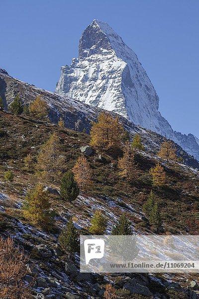 Schneebedecktes Matterhorn  herbstliche Bäume  Zermatt  Wallis  Schweiz  Europa