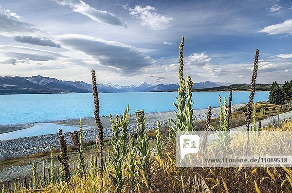 Turquoise Lake Pukaki with mulleins (Verbascum) in front  Mount Cook behind  Pukaki  Canterbury Region  South Island  New Zealand  Oceania