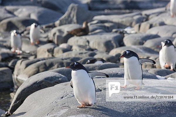 Eselspinguine (Pygoscelis papua) laufen auf Fels  Antarktische Halbinsel  Antarktis  Antarktika