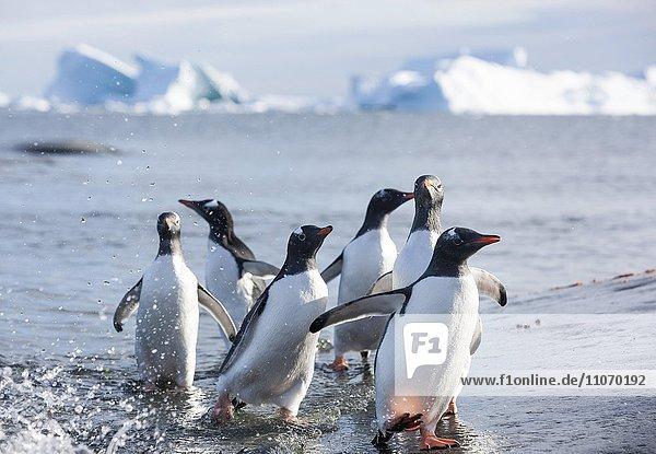 Eselspinguine (Pygoscelis papua) am Strand  Antarktische Halbinsel  Antarktis  Antarktika Eselspinguine (Pygoscelis papua) am Strand, Antarktische Halbinsel, Antarktis, Antarktika