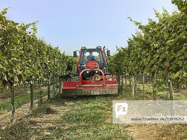 Traktor fährt mit einem Mähwerk zwischen den Weinstöcken  Wieselburg  Niederösterreich  Österreich  Europa