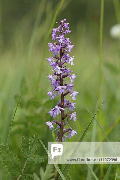 Mücken-Händelwurz (Gymnadenia conopsea)  Orchidee  Magnetsrieder Hardt bei Weilheim  Oberbayern  Bayern  Deutschland  Europa