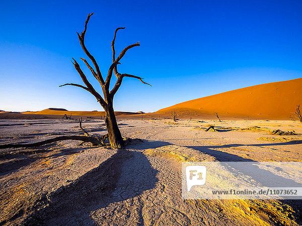 Dead camel thorn trees (Vachellia erioloba) in Dead Vlei in front of sand dunes  salt pan  Sossusvlei  Namib Desert  Namib-Naukluft National Park  Namibia  Africa