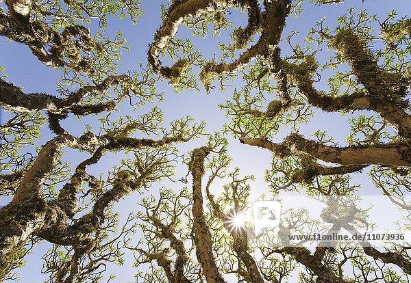 Strauch der Berteloth-Wolfmilch (Euphorbia berthelotii)  Fuerteventura  Kanarische Inseln  Spanien  Europa Strauch der Berteloth-Wolfmilch (Euphorbia berthelotii), Fuerteventura, Kanarische Inseln, Spanien, Europa