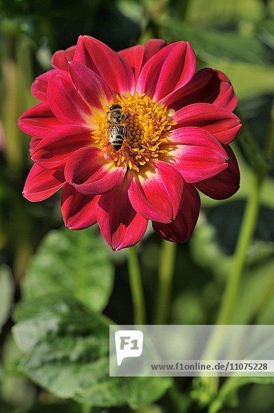 Dahlie (Dahlia pinnata)  Wildform  Blüte mit Honigbiene (Apis sp.)  Nordrhein-Westfalen  Deutschland  Europa
