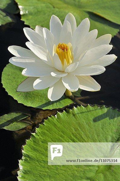 Seerose (Nymphaea sp.)  weisse Blüte  Nordrhein-Westfalen  Deutschland  Europa
