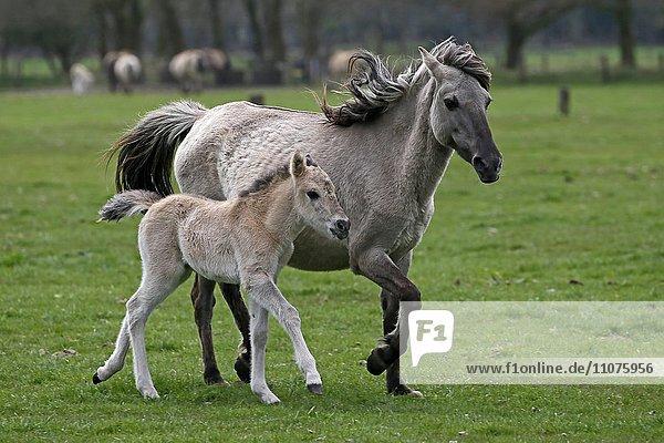 Dülmen pony  mother and foal  Dulmen  North Rhine-Westphalia  Germany  Europe