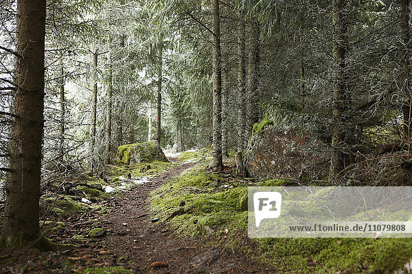 Hiking trail in coniferous forest