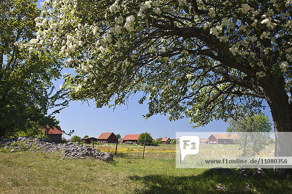 Blossoming tree with distant village