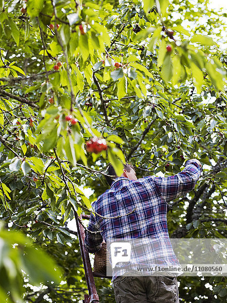 Man picking cherries  low angle view