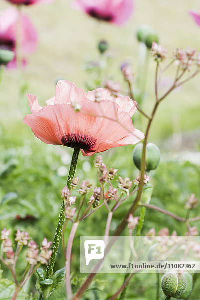 Close-up of pink poppy