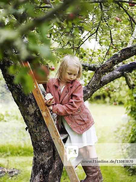 Girl on ladder picking apples  Varmdo  Uppland  Sweden