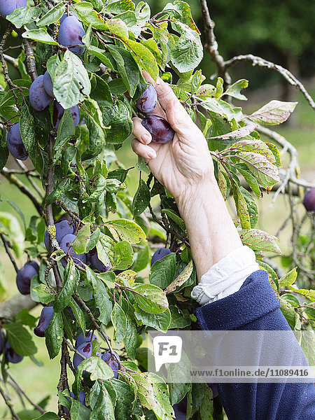 Hand der Seniorin bei der Pflaumenernte Hand der Seniorin bei der Pflaumenernte