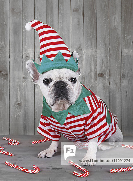 Französische Bulldogge im Weihnachtselfenkostüm