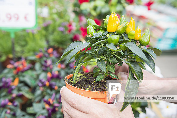 Close-up of gardener's hands holding chilli pepper plant in greenhouse  Augsburg  Bavaria  Germany