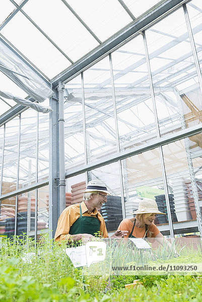 Two gardeners working in greenhouse  Augsburg  Bavaria  Germany