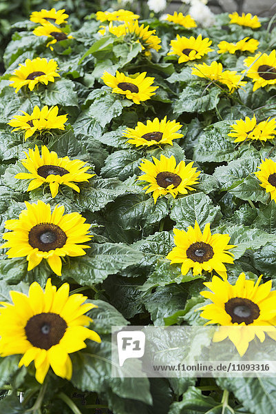 Close-up of sunflowers blooming in garden centre  Augsburg  Bavaria  Germany