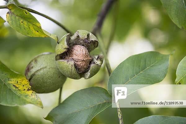 Close-up of walnuts (Juglans regia) in shell on tree  Munich  Bavaria  Germany Close-up of walnuts (Juglans regia) in shell on tree, Munich, Bavaria, Germany