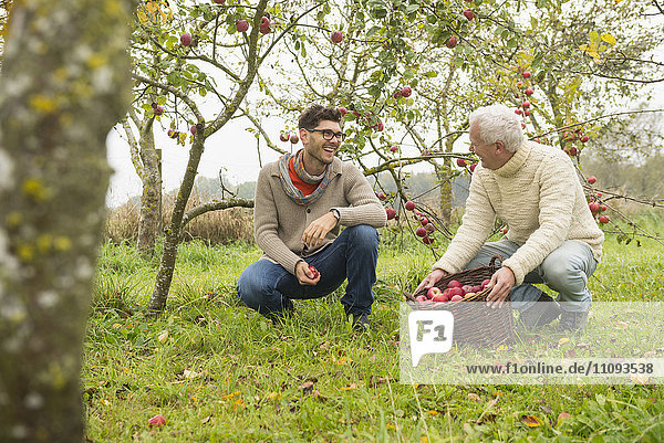 Father and son are happy with the apple harvest in an apple orchard