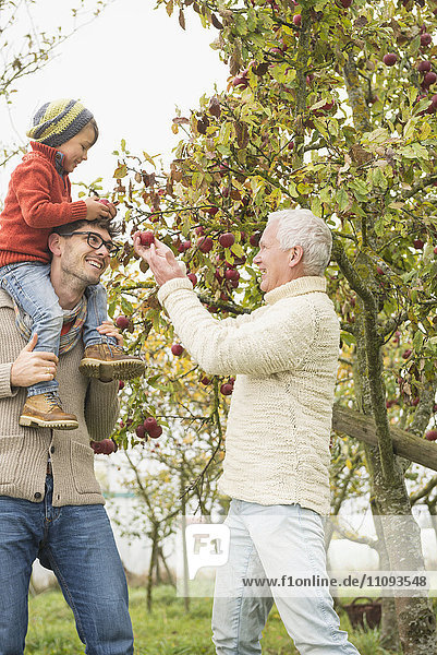 Father  son and grandfather picking apples from apple tree in an apple orchard
