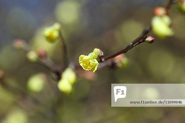 Buttercup winter hazel