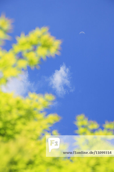 Maple Tree Branch and Blue Sky