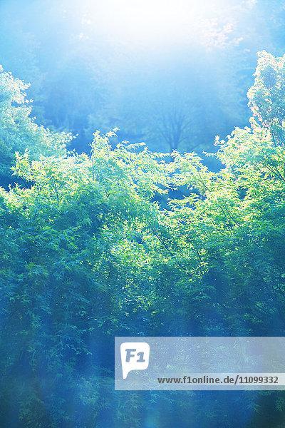 Sunlight Over Maple Trees