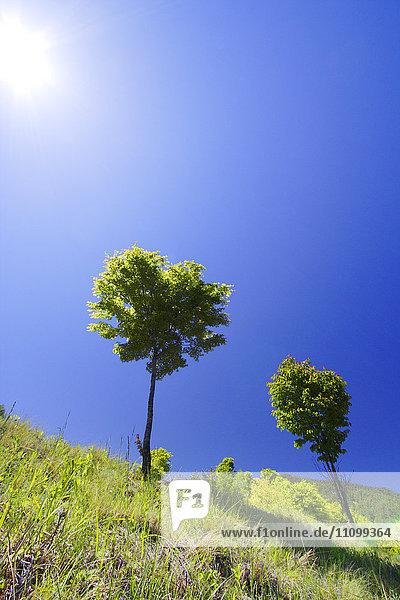Maple Trees Against Blue Sky