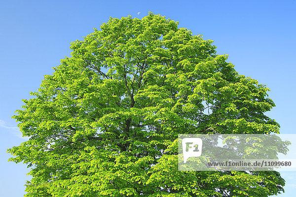 Bee Tree Against Blue Sky