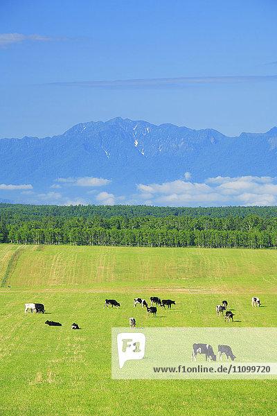 Holstein Cattle