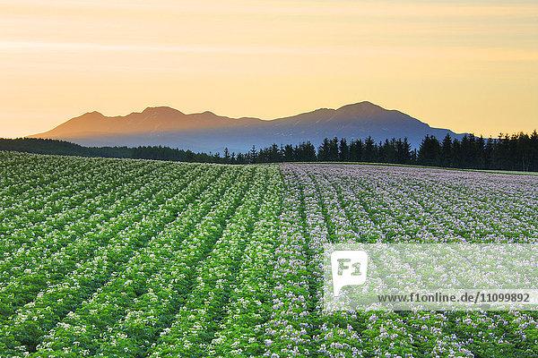 A potato field and the Mt. Taisetsu
