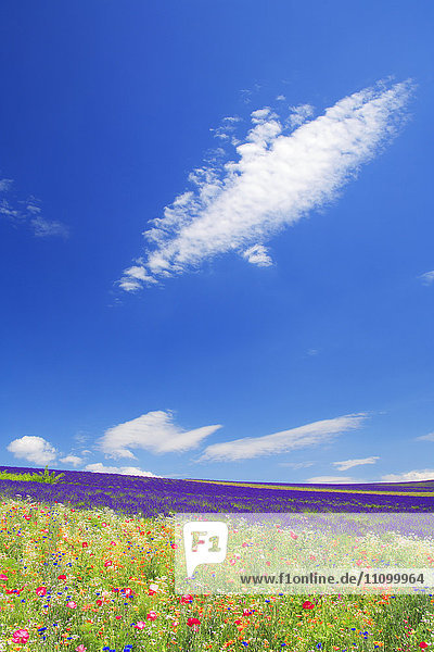 Field of flowers  Hokkaido Prefecture  Japan