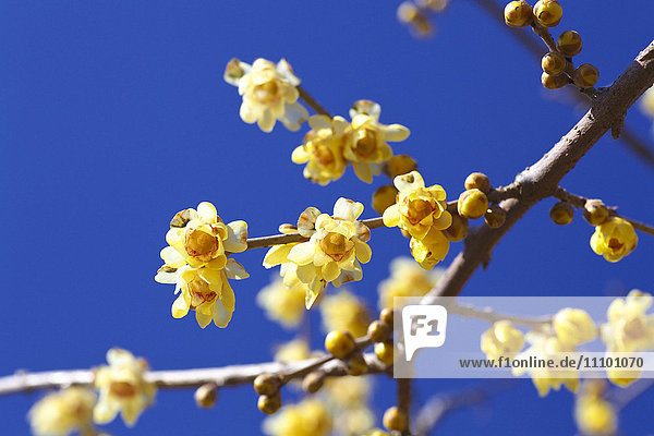 Yellow plum blossoms