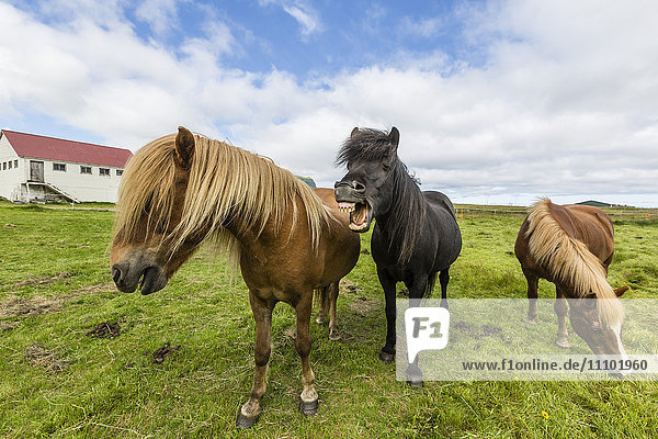 Adult Icelandic horses (Equus ferus caballus)  on a farm on the Snaefellsnes Peninsula  Iceland  Polar Regions