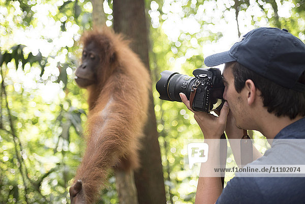 Photographer taking a photo of an Orangutan in the jungle of Gunung Leuser National Park  Bukit Lawang  North Sumatra  Indonesia  Southeast Asia  Asia