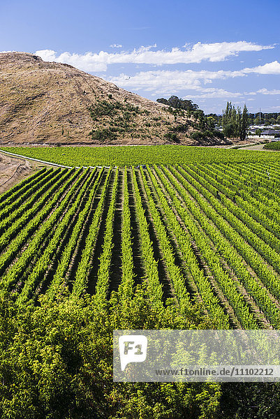 Vineyards at Mission Estate Winery  Napier  Hawkes Bay Region  North Island  New Zealand  Pacific