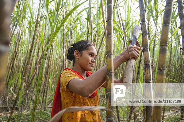A girl harvests sugarcane in the Rangamati District  Chittagong Hill Tracts  Bangladesh  Asia