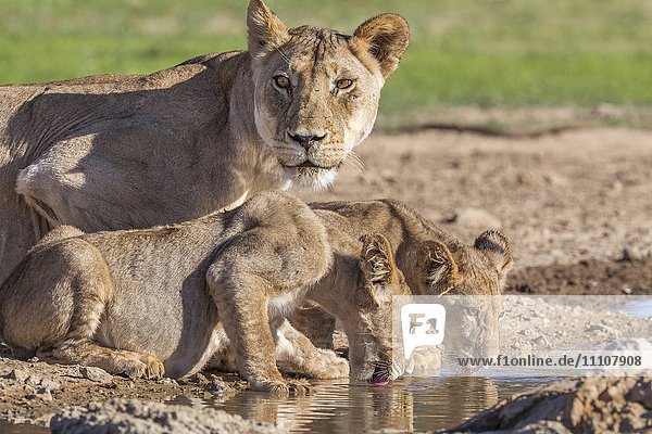 Lioness with cubs (Panthera leo) at water  Kgalagadi Transfrontier Park  Northern Cape  South Africa  Africa