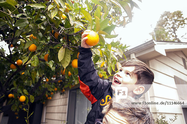 Caucasian boy picking fruit on father's shoulders