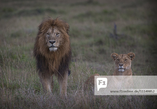 Lion and lioness in remote field
