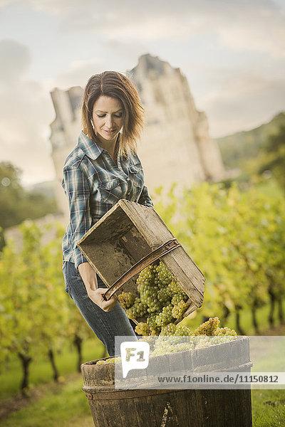 Caucasian farmer gathering grapes in vineyard