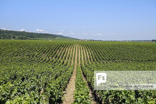 Frankreich  Burgund  Domaine de la Romanee-Conti  Weinberg