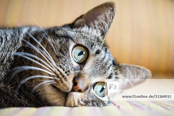 Portrait der Katze  Nahaufnahme