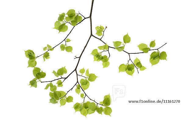 Lindenblätter vor weißem Hintergrund