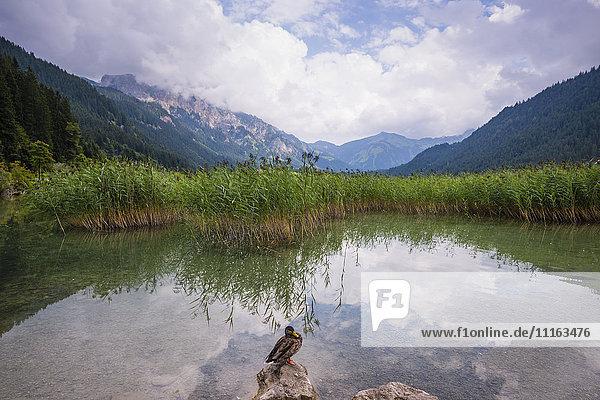 Austria  Tyrol  Tannheim Valley  Lake Haldensee  duck on stone