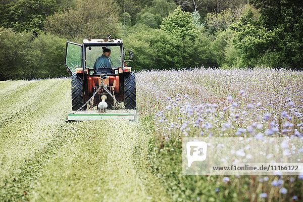 Ein Traktor beim Mähen einer Grasernte und einer Wildblumenwiese.