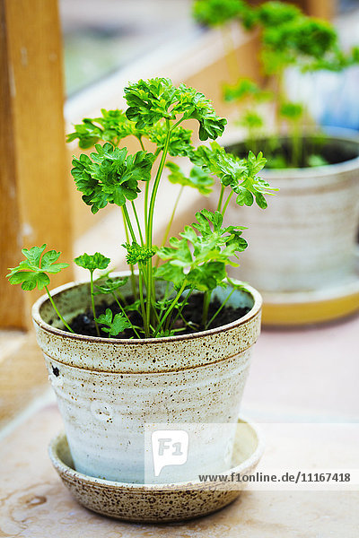 Pots on the windowsill with parsley herbs growing.
