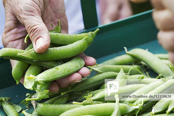 Eine Person  die eine Handvoll frisch gepflückter Gartenerbsenschoten hält.