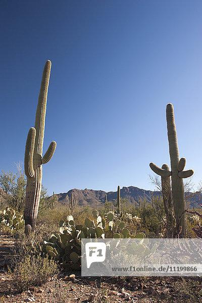Wüstenlandschaft im Saguaro Nationalpark  Arizona  USA